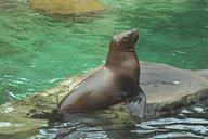 Steller sea lion pup